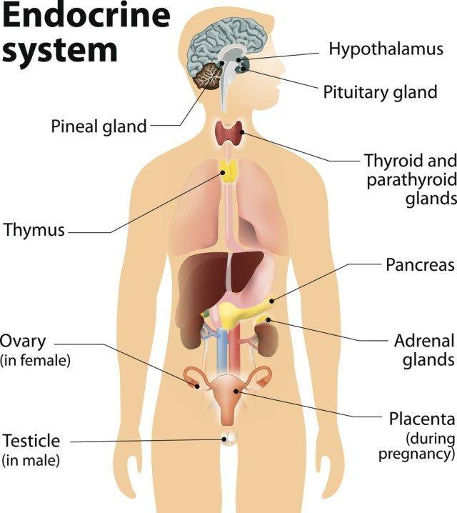 Endocrine System Diagram For Kids Koibana Info Endocrine System Endocrine Reproductive System