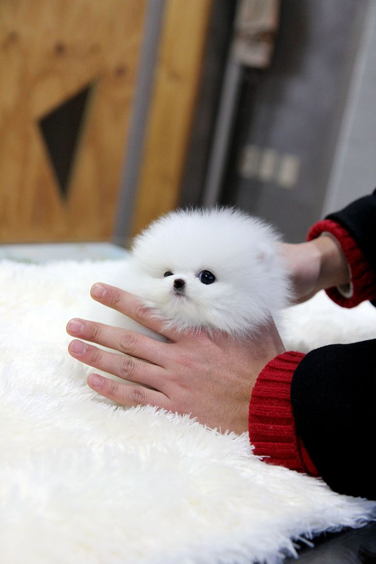 Best 25 Pomeranian puppies for free ideas on Pinterest