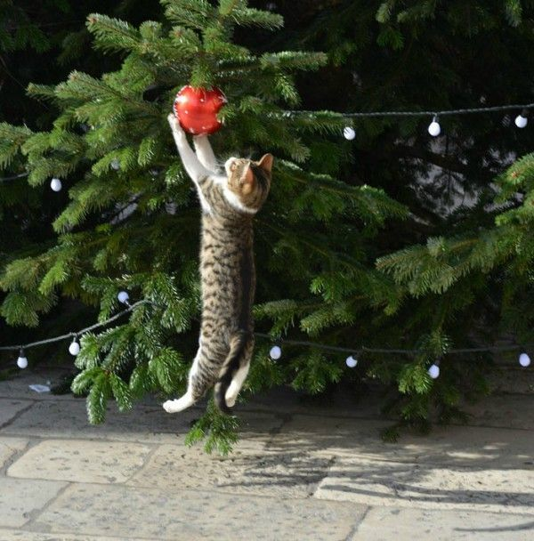 Cat destroys a Christmas tree on the Christmas market in Dubrovnik, Croatia. Story and photos of the cat jumping on the Christmas tree: http://www.traveling-cats.com/2017/12/cat-from-dubrovnik-croatia.html