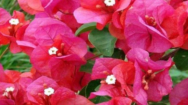 La flor bugambilia, además identificada como Santa Rita, veranera o trinitaria, de acuerdo al país que se trate, es una hermosa planta