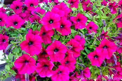 Ogrodnictwo od A do Z: Surfinie- bajeczne piękno nie tylko na balkon