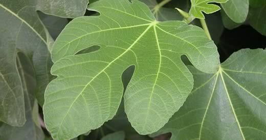 benefici foglie di fico