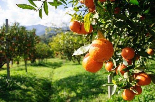 レモンやオレンジのような果物の農薬、気になりませんか?栄養が豊富な皮もお料理に使いたい時はなおさらですね。農薬は勿論、ワックスや防カビ剤も取り除いてくれる農薬除去洗浄水のレシピです。食品だから安心、安全、野菜の洗浄にも使えます。