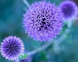 perennials for part shade in Alberta - Google Search echinops