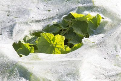 Cucumber Plant Damage: Tips On Protecting Cucumber Plants In The Garden - There are plenty of insect pests that might get to cucumbers before you do or transmit diseases, rendering plants unable to produce. Sudden cold snaps can kill the plants as well, so protecting cucumber plants is of paramount importance. Learn more here.