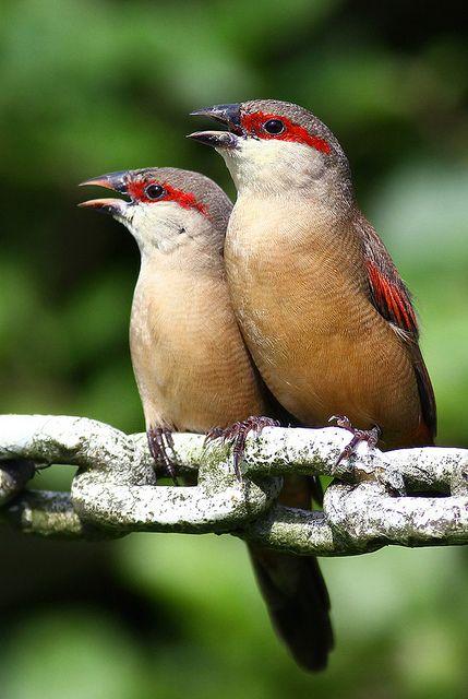 A pair of loving crimson-rumped waxbills