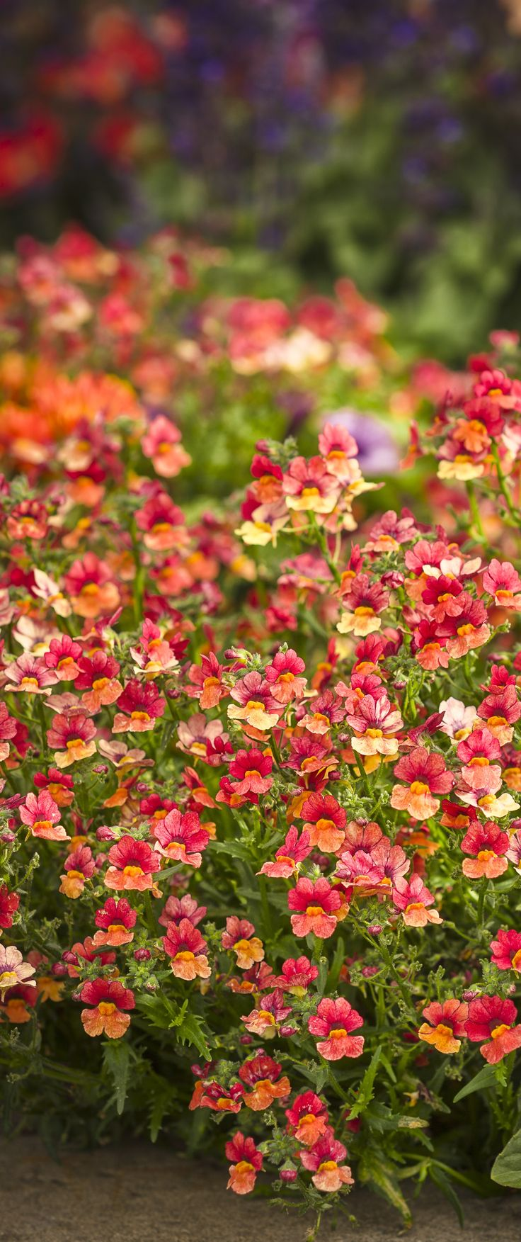 This nemesia is new this spring, and offers a stronger heat tolerance than other cool weather lovers. A striking bloom color is spectacular in the landscape or in containers.