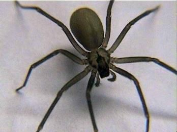 How to Control Brown Recluse Spiders  http://www.livingthecountrylife.com/animals/pest-control/how-control-brown-recluse-spiders/