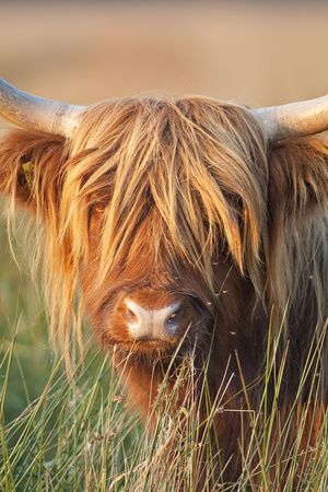 Highland Cattle Photographic Print at AllPosters.com