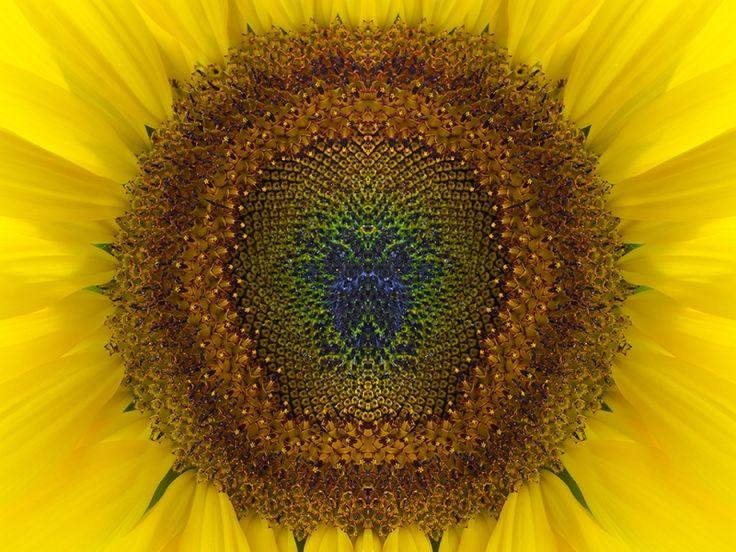 Galerie Bonnard | Scarabee hart van de zonnebloem. Fotografie door Gerald Peterson. Haarscherp gevangen met het juiste licht, waardoor de kleuren tot leven komen.