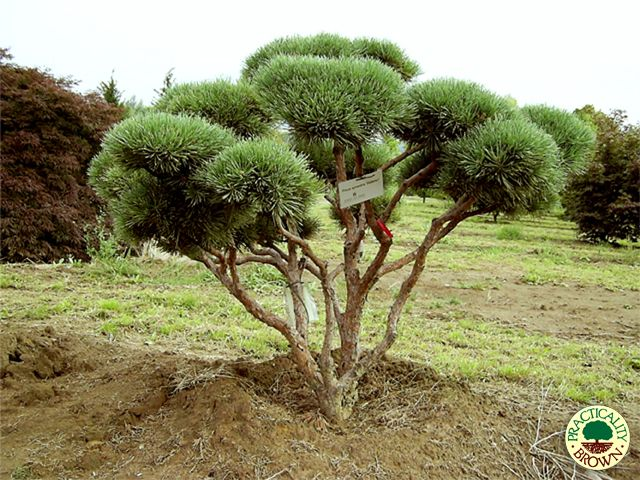 watereri scotch pine pinus sylvestris arbres c p e multi troncs pinterest trees ux ui. Black Bedroom Furniture Sets. Home Design Ideas