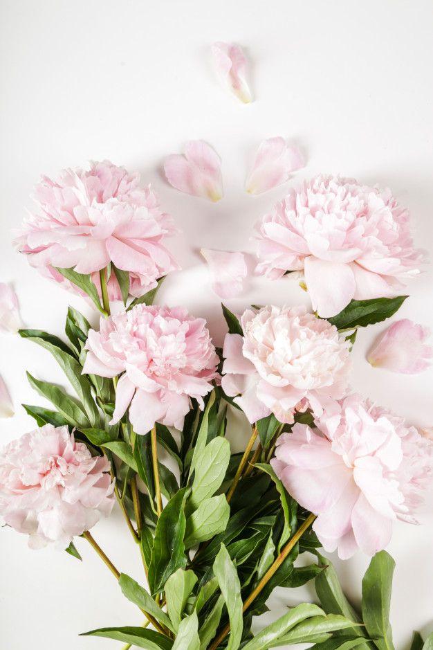 Swieze Piekne Kwiaty Piwonii Darmowe Zd Free Photo Freepik Freephoto Kwiat Pink Peonies Background Peony Flower Beautiful Pink Flowers
