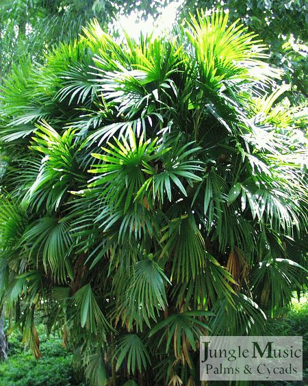 Palm Trees as house plants | Gardening & Outdoors ...