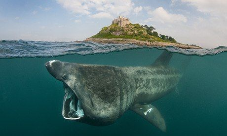 Mystery creature: basking sharks are increasingly seen in British waters during the summer, but little is known about where they go in the w...