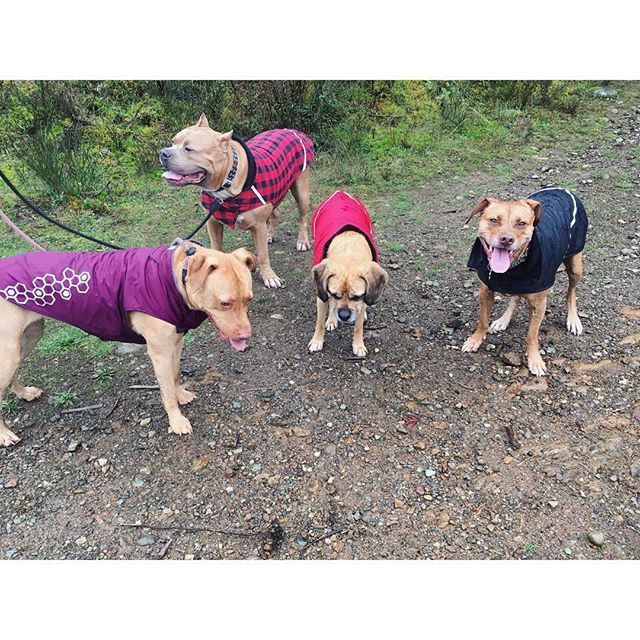Rainy hike with these 4 🐾 #yyj #dogsofinstagram #westcoast #dogsofcanada