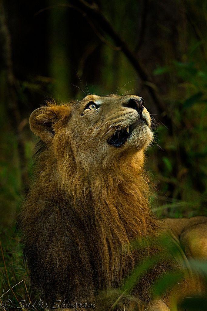Asiatic Lion by Sudhir Shivaram on 500px...Asiatic Lion photographed at Gir Lion Sanctuary, Gujart.