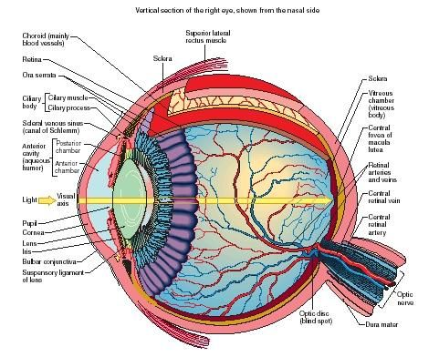 Diagram of an Eye - So complexed. How did it know where to put each component of itself?