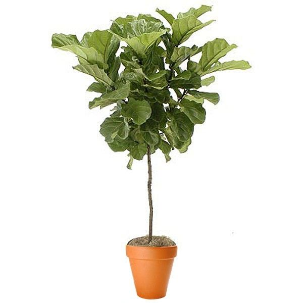Ficus Lyrata Topiary | Plant and Flower Delivery NYC Florist | Plantshed.com $250.00