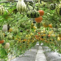 Tunnel of gourds.... quite a harvest!