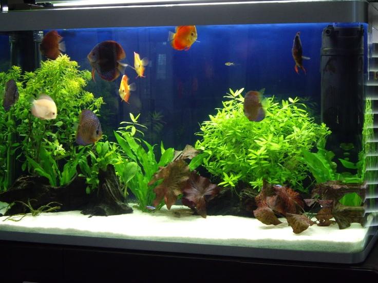 White sand discus tank planted discus aquarium for Sand for fish tank