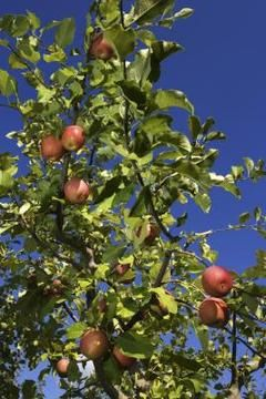 Homemade Organic Pesticide for Fruit Trees Fruit trees can be a haven for insects, but they don't have to be.