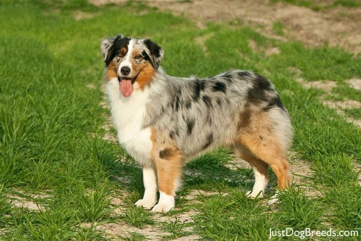 "The Australian Shepherd, lovingly called an ""Aussie,"" is a highly intelligent, incredibly energetic, people-loving dog who needs to have a job to do. They need lots and lots of exercise and will fit in well with an active person or family. They are bred to herd, and might try to herd anything, including you, your children, your neighbor's child on a bicycle, innocent strangers jogging past your house, ducks, squirrels, cats, and cars. You will need a fence to keep them off the road."