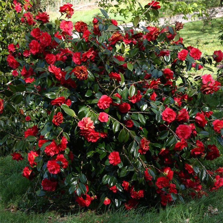 17 Best Images About Shrubs Trees On Pinterest Sun Evergreen Shrubs And Green Leaves