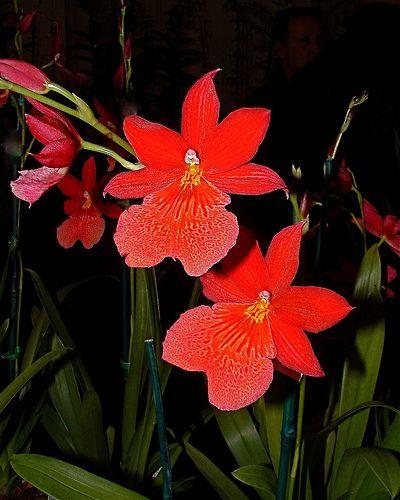 Burrageara Nelly Isler 'Swiss Beauty' | Flickr - Photo Sharing!