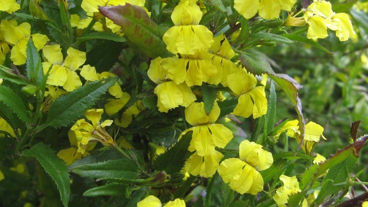 Goodenia ovata - Native Primrose 15 seeds   eBay