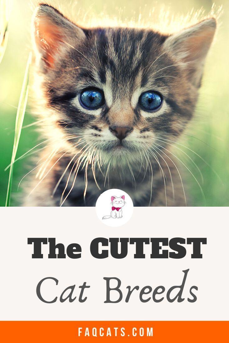 Cutest Cat Breeds And Cute Kittens In 2020 Cute Cat Breeds Kitten Breeds Cat Breeds