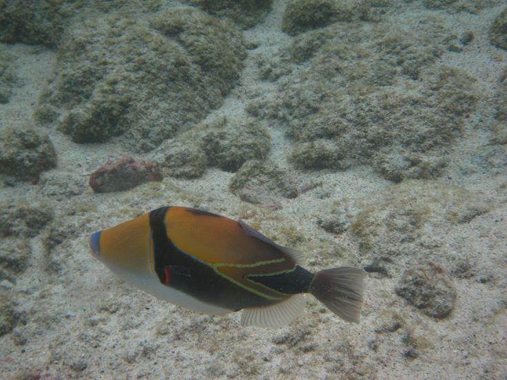 Humuhumunukunukuapua'a  State fish of Hawaii Fun fact - it's teeth are blue!