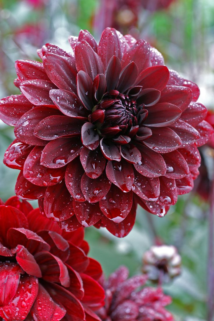 "~~Dahlia 'Karma Chocolate' | Sumptuous velvety dark red almost black water lily like blooms up to 5"" across, grow on strong dark stems with dark chocolaty foliage, and the flowers are also chocolate scented 