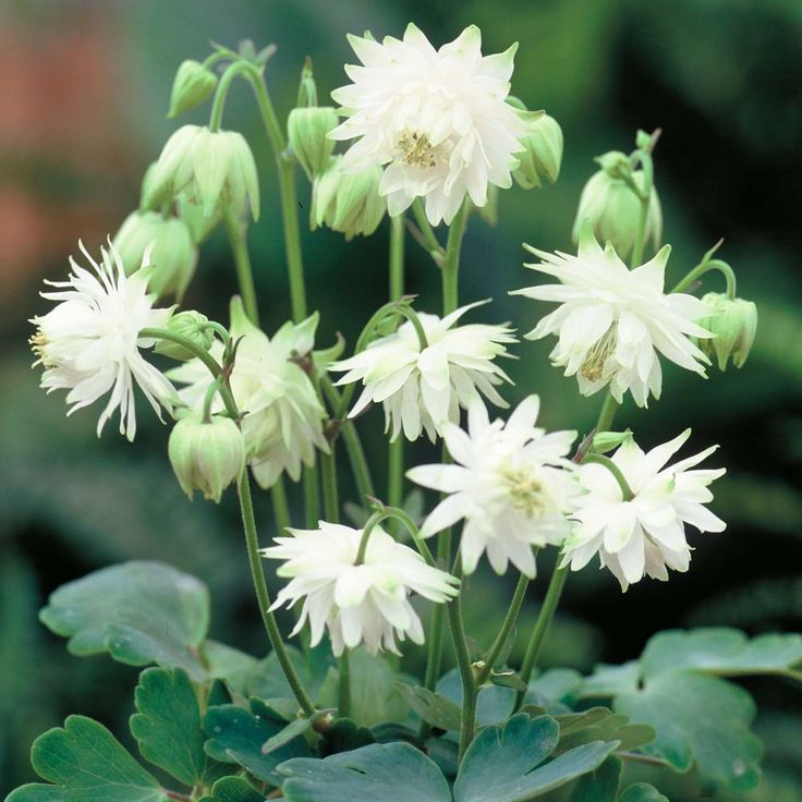 best garden flowers  columbine images on, Beautiful flower