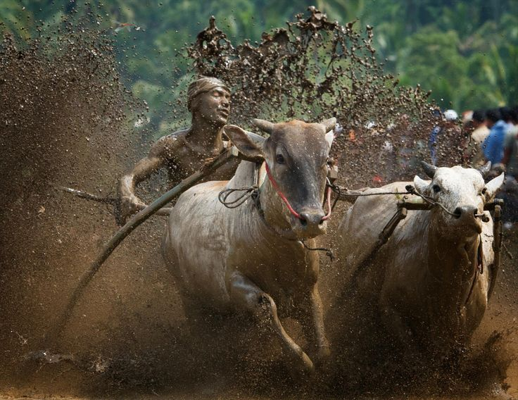 pacu jawi by hamni juni on 500px