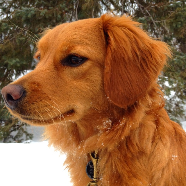 20 best Mini golden retrievers images on Pinterest ...