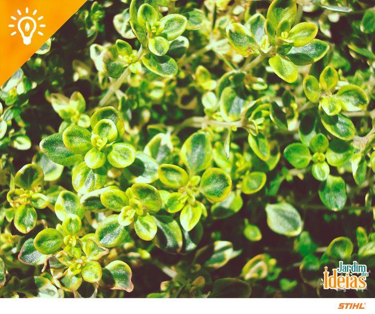 Escolha plantas perenes para economizar água no jardim. Uma horta com este tipo de espécie é ideal, pois somente a água das chuvas já é suficiente para que elas se desenvolvam bem. Alguns exemplos de plantas perenes são: Alecrim-rasteiro, Beldroega, Capim-limão, Hortelã branca, Louro, Tomilho.