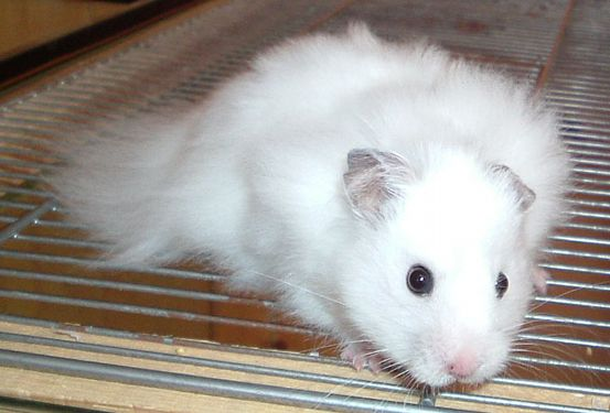 91 Best Images About Syrian Hamster Colours On Pinterest