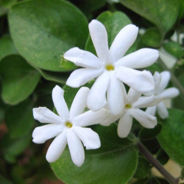 Top 4 Jasmine Flowering Plants