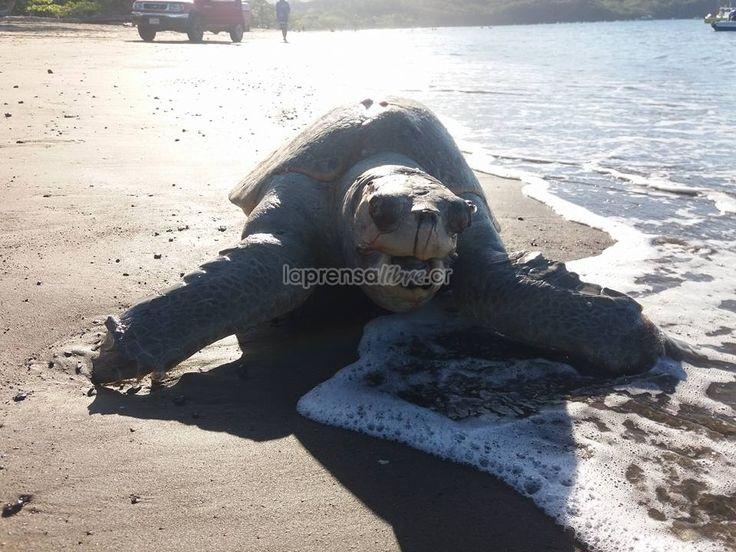 """Eso de permitir la pesca de arrastre no se ve algo muy justo para los animales marinos (Benjamín Núñez Vega)    """"De acuerdo con dicha página, el fallecimiento de este animal se debe a la presencia de los barcos camaroneros, a los que se conoce como embarcaciones encargadas de la """"matanza"""" de muchas especies.  Aparentemente, el deceso se produjo por ahogamiento, pues las tortugas quedan enredadas en las redes de dichas embarcaciones.""""  Impresionantes fotos de tortuga muerta en Playas del Coco…"""