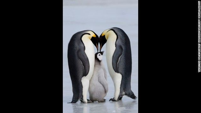 Face It: Monogamy is Unnatural - CNN - Emperor penguins usually mate for one year before moving on to mate with a new partner.