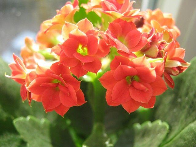 Каланхоэ Блоссфельда — цветок под колпаком  При должном уходе каланхоэ может цвести практически круглогодично. Однако некоторые цветоводы не могут добиться обильного цветения, несмотря на подкормки, правильный полив и интенсивное освещение. Именно в нем, в освещении, и кроется секрет успешного выращивания каланхоэ.