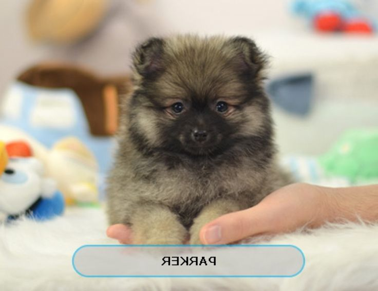 Best Place To Buy Teacup Puppies Small Dogs For Sale Intended For ...