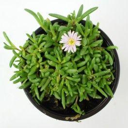 Delosperma 'Beaufort West' - Arrée Succulentes