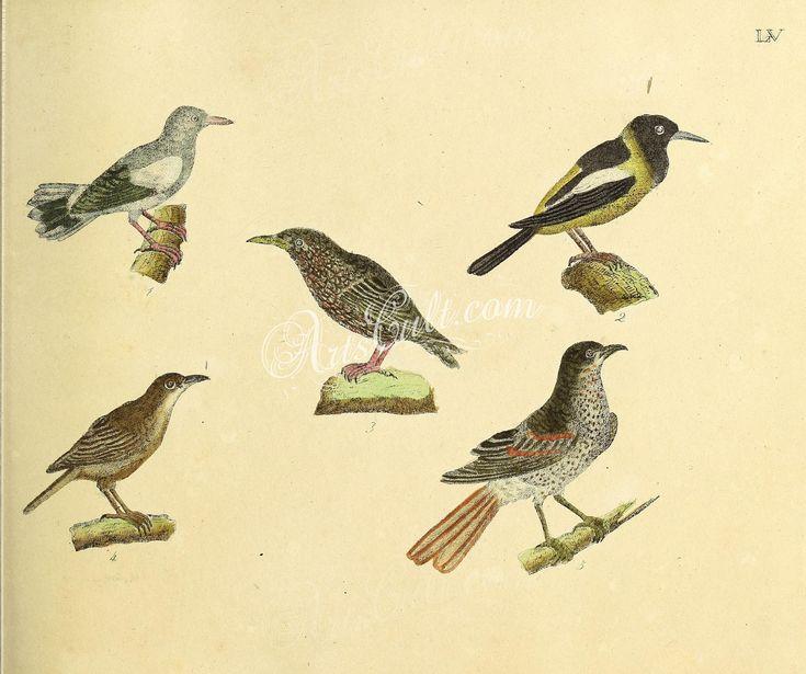 039-oriolus sinensis, Venezuelan Troupial, European Starling, Great Reed-Warbler, Song Thrush      ...