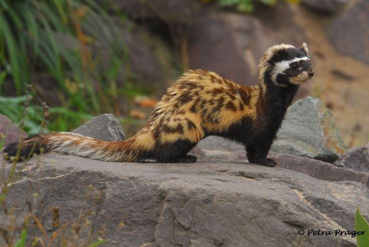Marbled Polecat Vormela Peregusna Zoologischer Garten