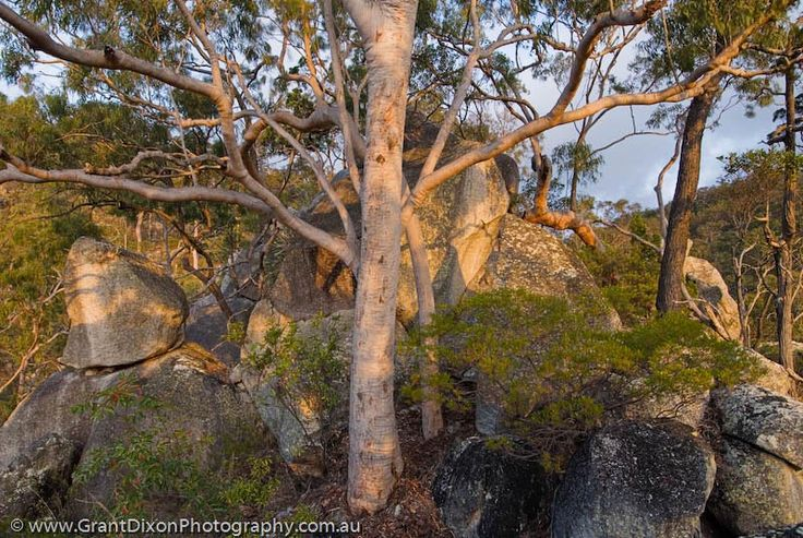 Lemon-scented Gum (Eucalyptus citriodora) woodland at sunset, western escarpment of Mt Windsor Tableland,AUSTRALIA, Queensland, Far North.