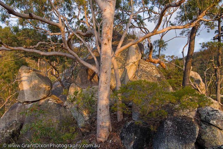 Lemon-scented Gum (Eucalyptus citriodora) woodland at sunset, western escarpment of Mt Windsor Tableland,AUSTRALIA, Queensland, Far North.