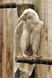 White Raven. amazing.Nature, Albino Ravens, Beautiful, Creatures, Albino Crows, Feathers, Birds, White Ravens, Albino Animal