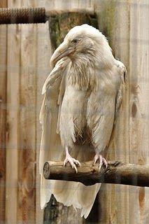 White Raven.