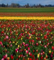 Holland Michigan Tulip Festival